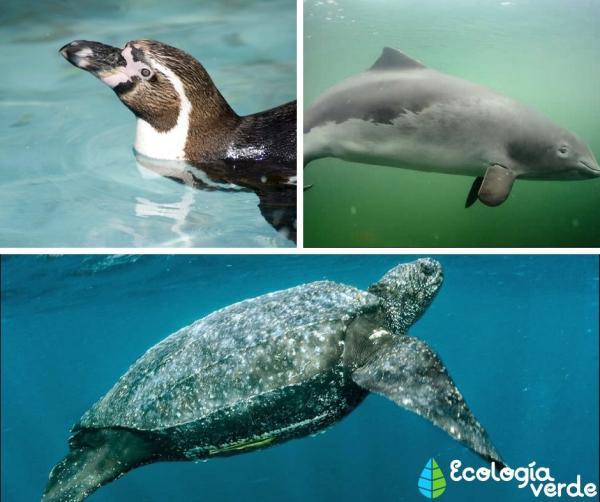 Mar peruano: características y animales - Animales del mar peruano - fauna destacada