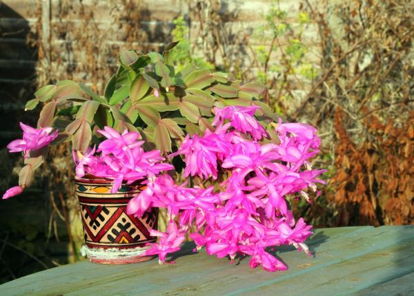 Cactus de Navidad con las hojas arrugadas: por qué y qué hacer - Demasiado sol