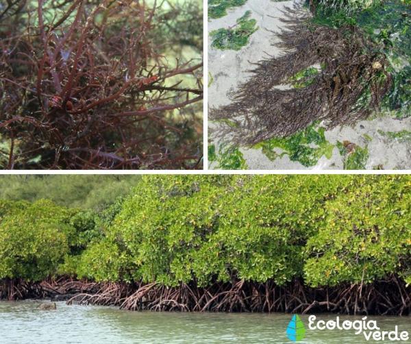 Mar peruano: características y animales - Flora del mar peruano
