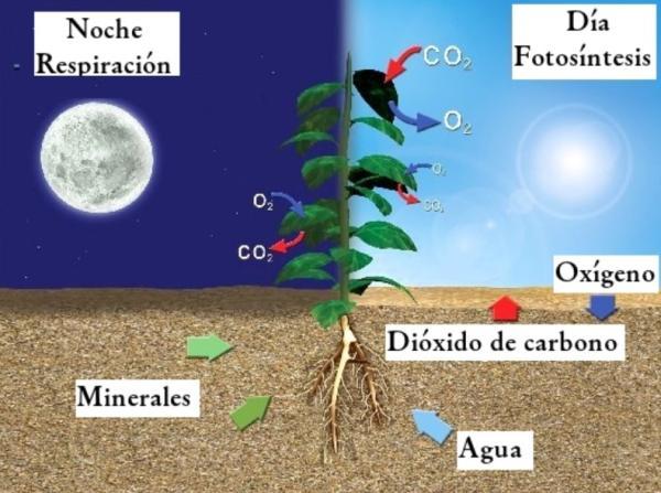 Por dónde respiran las plantas y cómo lo hacen - Diferencia entre fotosíntesis y respiración de las plantas