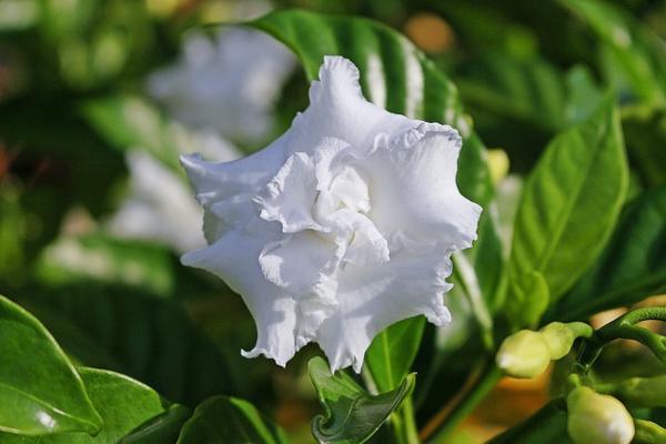 10 flores blancas para jardín - Gardenias blancas