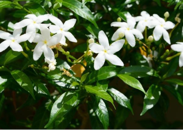 10 flores blancas para jardín - Jazmín, una enredadera de flores blancas para jardín