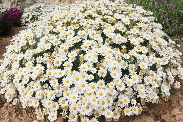 10 flores blancas para jardín - Margaritas blancas comunes o murales