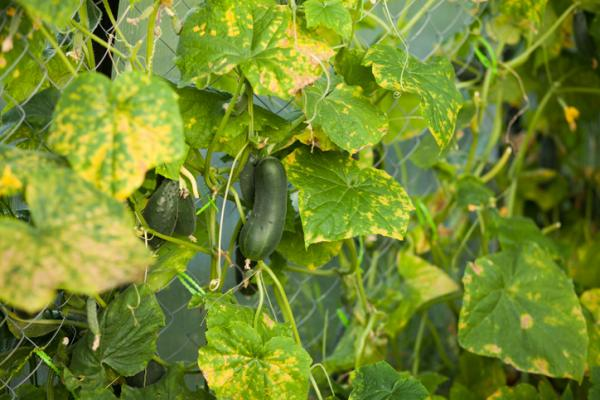Hojas amarillas en plantas: por qué salen y soluciones