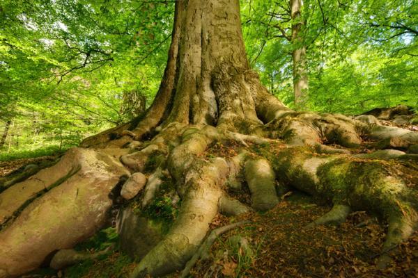 Tipos de raíces - Raíces adventicias