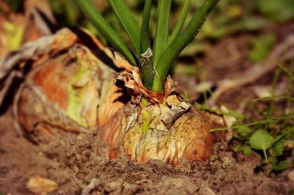 Tipos de raíces - Raíces contráctiles