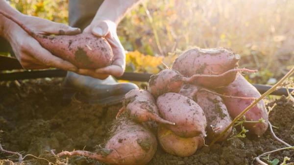Tipos de raíces - Raíces de almacenamiento