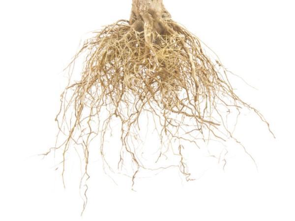 Tipos de raíces - Raíces fasciculadas