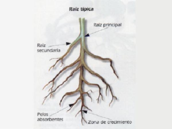 Tipos de raíces - Raíces primarias o axonomorfas