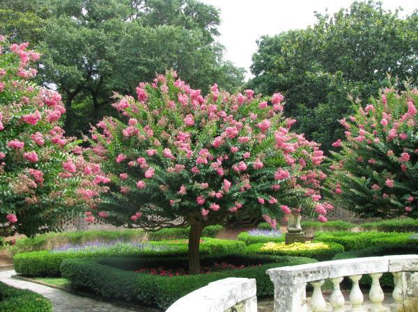 Cuidados del árbol de Júpiter - Cuidados del árbol de Júpiter o Lagerstroemia indica