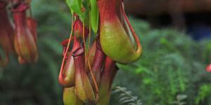 9 tipos de plantas carnívoras