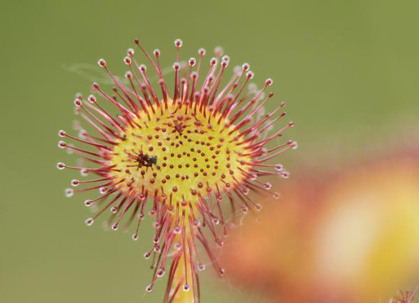 9 tipos de plantas carnívoras - Drosera