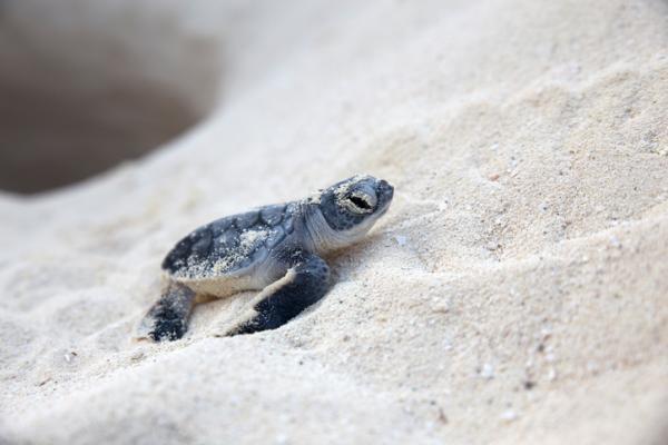 Tortugas en peligro de extinción - Especies de tortugas en peligro de extinción o vulnerables