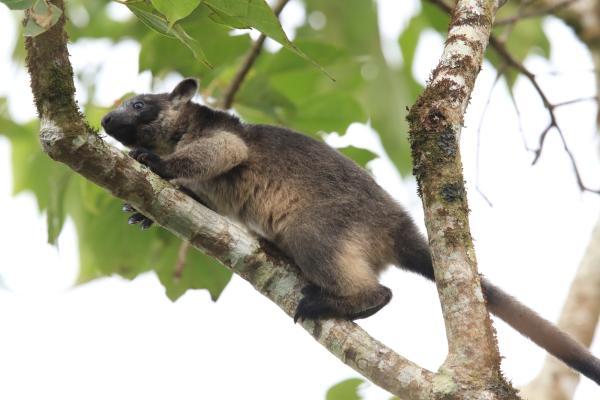 Animales que viven en los árboles - Canguros arborícolas