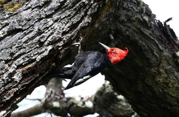Animales que viven en los árboles - Carpintero gigante