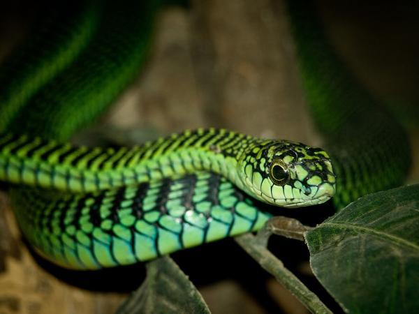 Animales que viven en los árboles - Culebra del Cabo