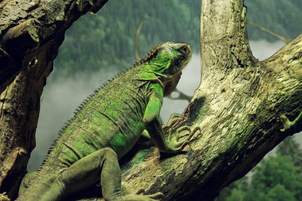Animales que viven en los árboles - Iguanas