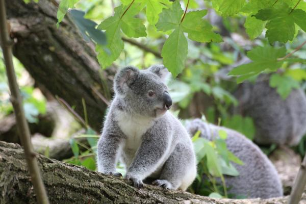 Animales que viven en los árboles - Koala