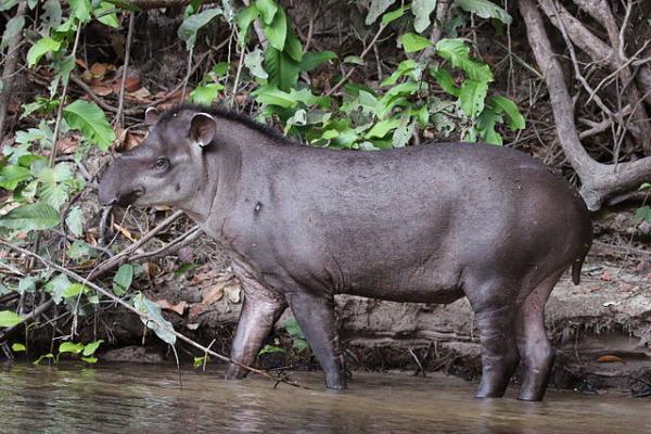 Por qué el tapir está en peligro de extinción - Tapir: características y curiosidades