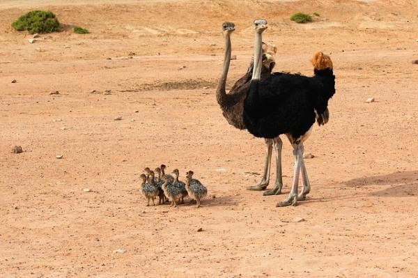 10 aves que no vuelan - Avestruces (Struthio camelus)
