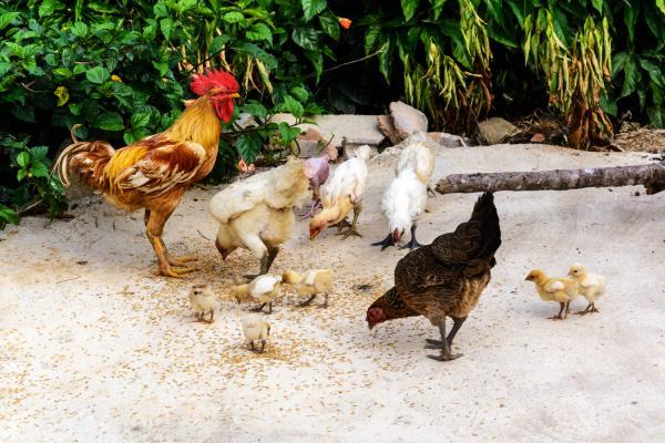 10 aves que no vuelan - Gallinas (Gallus gallus domesticus)