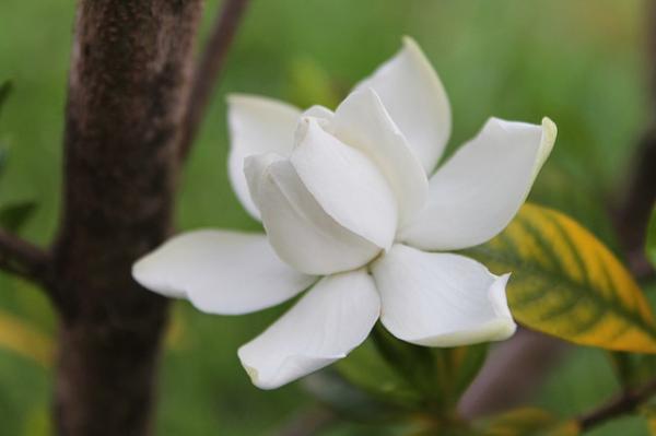 Cuidados de la gardenia - Cuándo florecen las gardenias y cómo hacerlas florecer