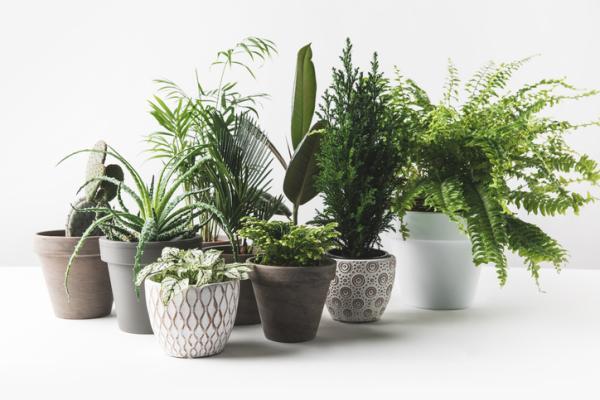 Tipos de plantas de interior grandes - Qué diferencias hay entre las plantas de interior grandes y las pequeñas