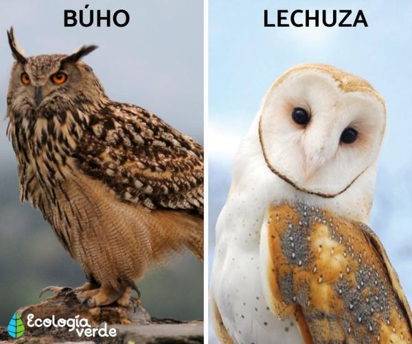 Aves nocturnas: nombres y tipos - Aves nocturnas: tiposy características