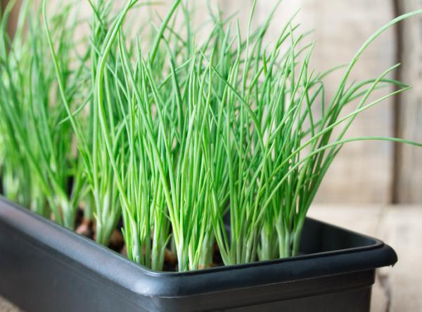 Tipos de plantas aromáticas y medicinales - Ajo (Allium sativum)