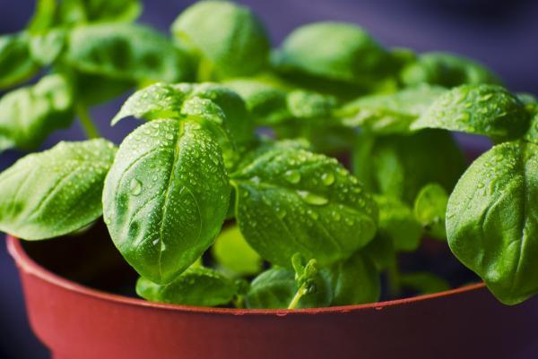 Tipos de plantas aromáticas y medicinales - Albahaca (Ocimum basilicum)