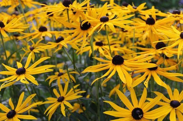 Tipos de plantas aromáticas y medicinales - Árnica (Arnica montana)