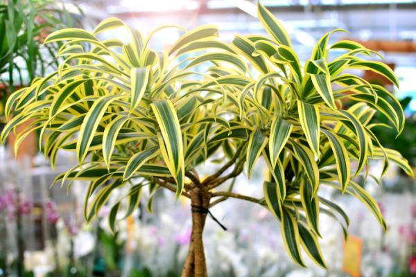 25 plantas de interior altas - Drácena o Dracaena