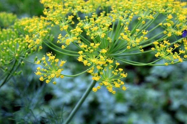 Tipos de plantas aromáticas y medicinales - Eneldo (Anethum graveolens)