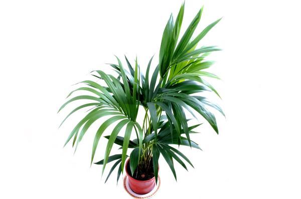 25 plantas de interior altas - Palmeras, plantas altas para interiores poco exigentes