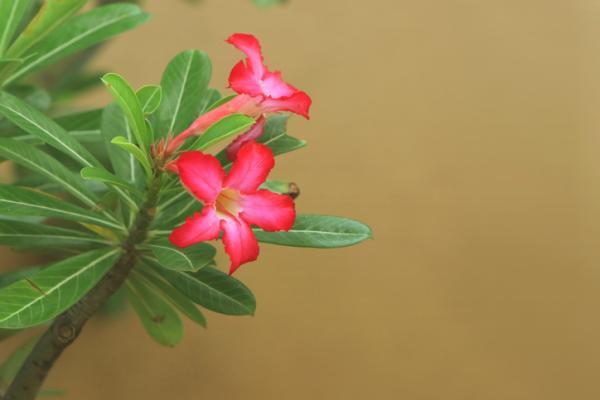 25 plantas de interior altas - Rosa del desierto
