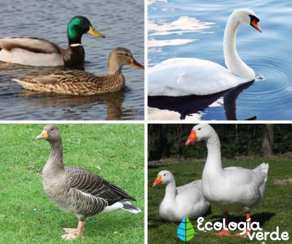 +35 Animales de agua dulce - Ejemplos de aves que viven en hábitats de agua dulce