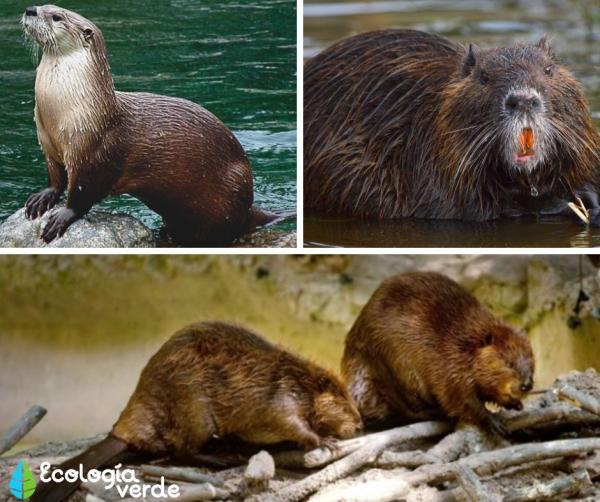 +35 Animales de agua dulce - Mamíferos que habitan en agua dulce