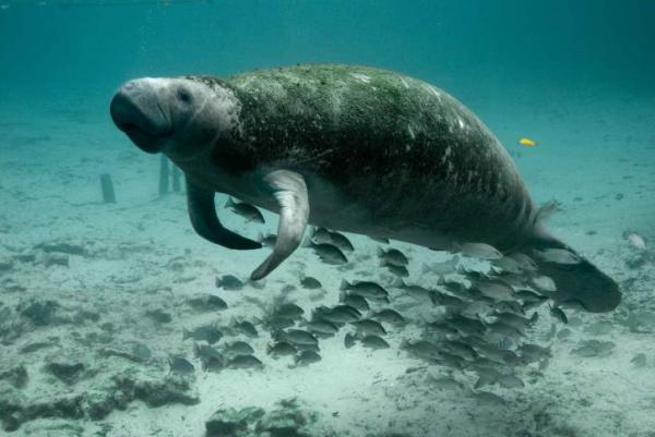 +35 Animales de agua dulce - Manatí, uno de los animales de agua dulce en peligro de extinción
