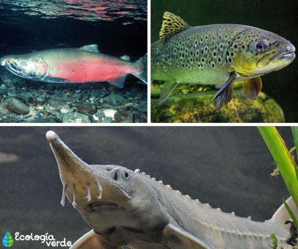 +35 Animales de agua dulce - Peces de agua dulce