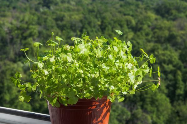 Cómo plantar perejil - Cómo plantar perejil en maceta con semillas