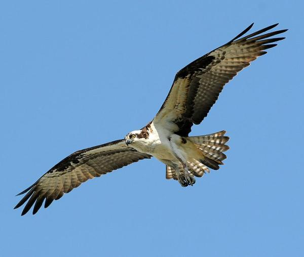 112 aves de rapiña o rapaces: tipos, nombres y fotos - Águila pescadora (Pandion haliaetus)