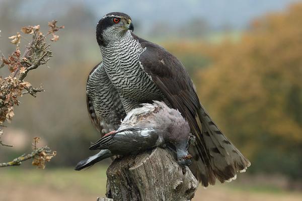 112 aves de rapiña o rapaces: tipos, nombres y fotos - Azor común (Accipiter gentilis)