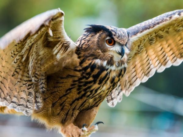 112 aves de rapiña o rapaces: tipos, nombres y fotos - Búho real (Bubo bubo)
