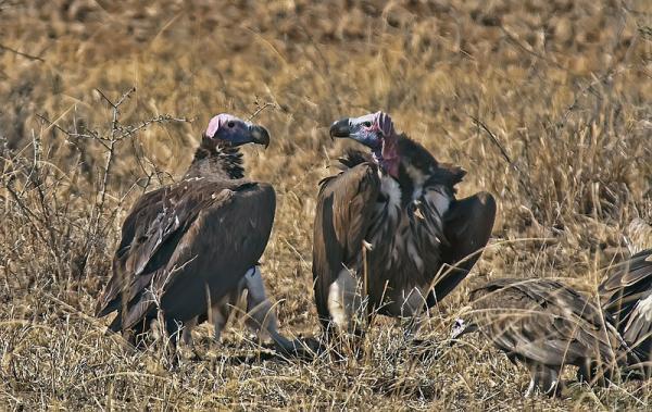 112 aves de rapiña o rapaces: tipos, nombres y fotos - Buitre torgo (Torgos tracheliotus)