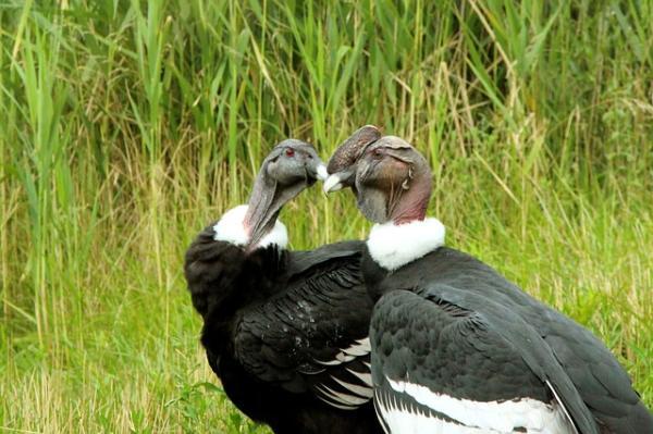 112 aves de rapiña o rapaces: tipos, nombres y fotos - Cóndor andino (Vultur gryphus)