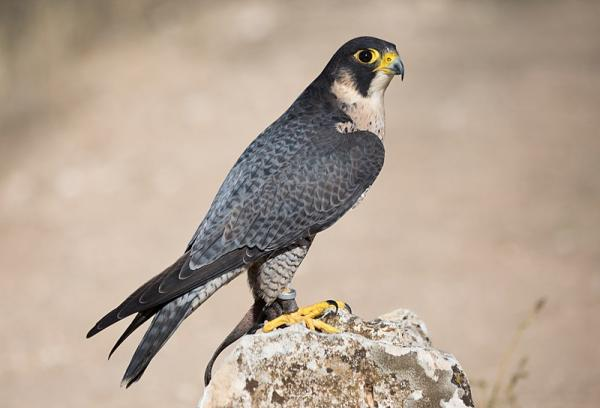 112 aves de rapiña o rapaces: tipos, nombres y fotos - Halcón peregrino (Falco peregrinus)