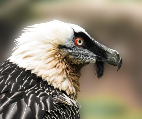 112 aves de rapiña o rapaces: tipos, nombres y fotos - Quebrantahuesos (Gypaetus barbatus)