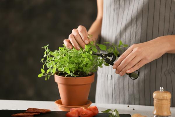 Planta de orégano: cuidados y para qué sirve - Cómo es la planta de orégano – características