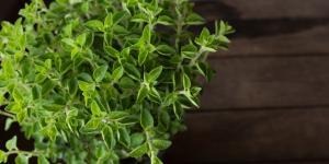Planta de orégano: cuidados y para qué sirve