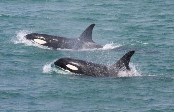 Animales monógamos: qué son y lista con ejemplos - Animales monógamos marinos: las orcas